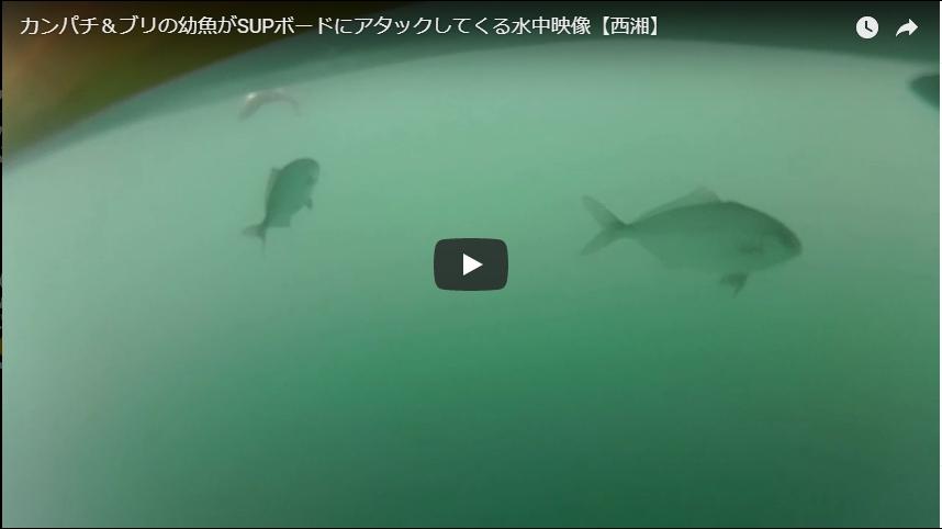 カンパチ&ブリの幼魚がSUPにアタックしてくる水中動画