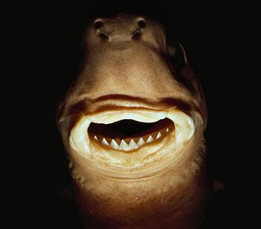 ダルマザメの口