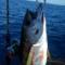 久しぶりに釣れた魚はキハダマグロ(2018年9月16日の釣果)